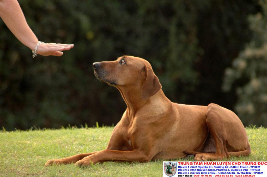 Hướng dẫn huấn luyện chó lệnh nằm tại chỗ chuyên nghiệp