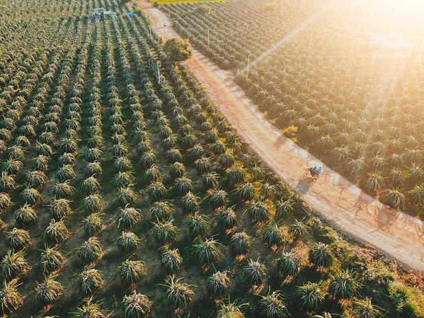 Khám phá vườn thanh long đi quên lối về tại Bình Thuận